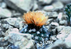 winklercactus