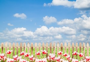 tulips and fence - Satit Srihin - fdp