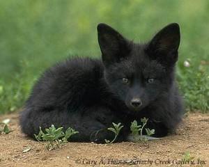 BlackFox-1