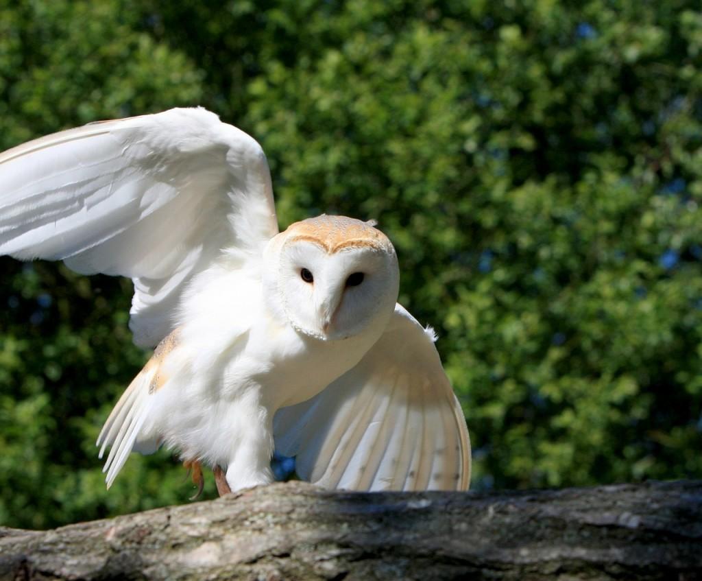 barn-owl-220497_1280 (1)